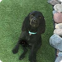 Adopt A Pet :: Buddy - Peoria, AZ