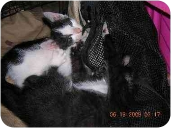 Domestic Shorthair Kitten for adoption in Union, South Carolina - Gigi