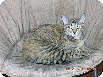 Calico Cat for adoption in Union, South Carolina - Brandy