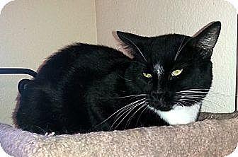 Domestic Shorthair Cat for adoption in Gilbert, Arizona - Hoss