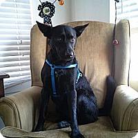 Adopt A Pet :: Niko - Santa Monica, CA