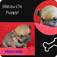 Adopt A Pet :: Moochie - Spring Valley, NY