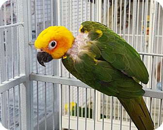 Conure for adoption in Grandview, Missouri - Statler and Waldorf