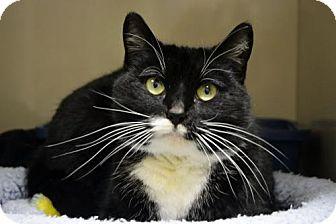 Domestic Shorthair Cat for adoption in Versailles, Kentucky - Octavia