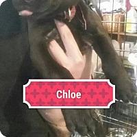 Adopt A Pet :: Chloe - Sinking Spring, PA
