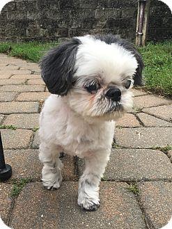Shih Tzu Mix Dog for adoption in Rye Brook, New York - Jack