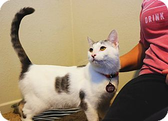 Domestic Shorthair Cat for adoption in Santa Ana, California - Stymie