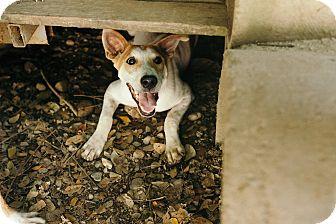 Ibizan Hound/Labrador Retriever Mix Dog for adoption in Denver, Colorado - Rascal