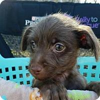 Adopt A Pet :: Shamrock PENDING ADOPTION - Seaford, DE