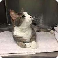Adopt A Pet :: Mr. Bill - Aurora, IL