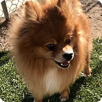 Adopt A Pet :: Jojo - Las Vegas, NV