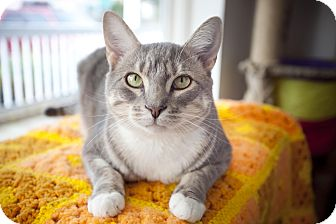 Domestic Shorthair Cat for adoption in Chesapeake, Virginia - Jazz