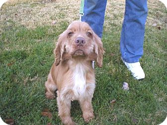Cocker Spaniel Dog for adoption in Kannapolis, North Carolina - Toby  - Adopted!