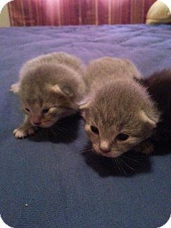 Domestic Shorthair Kitten for adoption in Xenia, Ohio - Daphne's 4 Kittens