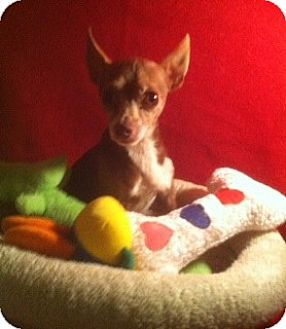 Chihuahua Dog for adoption in Houston, Texas - Oliver