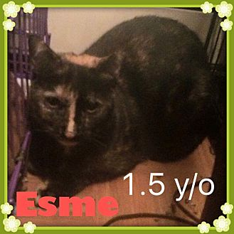 American Shorthair Cat for adoption in Brentwood, New York - Esme