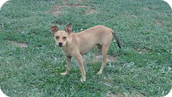 Chihuahua Mix Dog for adoption in Ashville, Ohio - MIssy