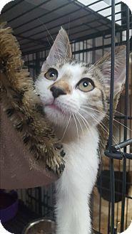 American Shorthair Kitten for adoption in Miami Shores, Florida - Samuel