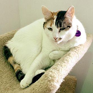 Domestic Shorthair Cat for adoption in Powell, Ohio - Kiana