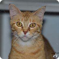 Domestic Shorthair Cat for adoption in Ottumwa, Iowa - Blossom