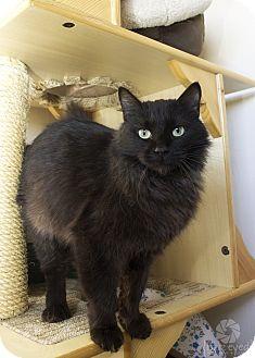 Domestic Shorthair Cat for adoption in Gardnerville, Nevada - Nikki