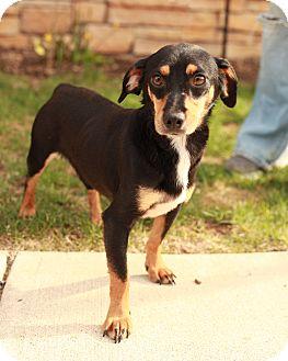 Dachshund Mix Dog for adoption in Lancaster, Ohio - Sheldon