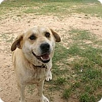 Collie/Labrador Retriever Mix Dog for adoption in Northport, Alabama - Moxie
