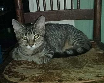 Domestic Shorthair Cat for adoption in Columbia City, Indiana - Addie