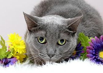 Domestic Shorthair Cat for adoption in Sterling Heights, Michigan - Smokey