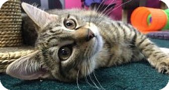Domestic Shorthair Kitten for adoption in McHenry, Illinois - Suzanne