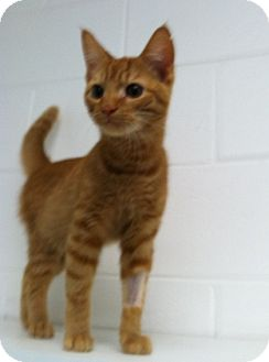 Domestic Shorthair Kitten for adoption in Huntsville, Alabama - Dickins