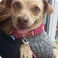 Adopt A Pet :: Cherri - Sterling Heights, MI