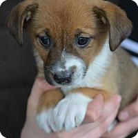 Adopt A Pet :: Meghan - Danbury, CT
