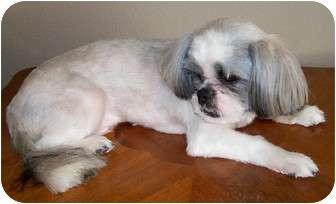 Shih Tzu Puppy for adoption in Phoenix, Arizona - Lucky