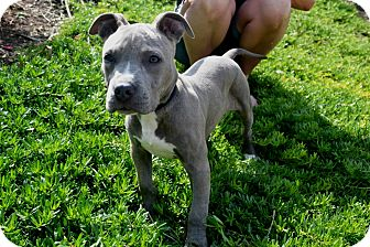 American Pit Bull Terrier Mix Puppy for adoption in San Diego, California - Hosana