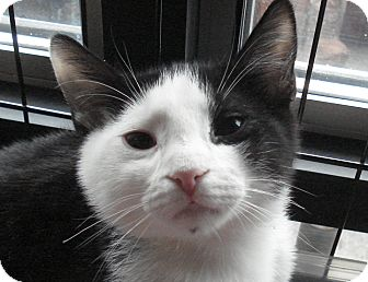 Domestic Shorthair Cat for adoption in Brooklyn, New York - Double Stuff