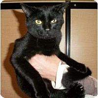 Adopt A Pet :: Midnight - Reston, VA