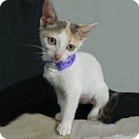 Adopt A Pet :: Finola - The Colony, TX