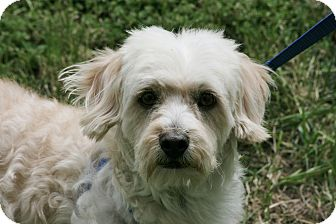 Cockapoo Mix Dog for adoption in Carlsbad, California - Remy