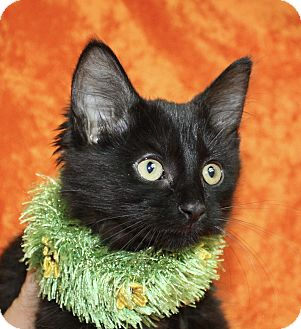 Domestic Shorthair Kitten for adoption in Jackson, Michigan - Jan
