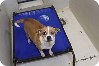 Chihuahua Mix Dog for adoption in Odessa, Texas - A30 Little Bug