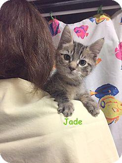 Domestic Shorthair Kitten for adoption in Cliffside Park, New Jersey - JADE