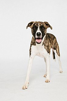Shepherd (Unknown Type)/Boxer Mix Dog for adoption in Houston, Texas - Molly