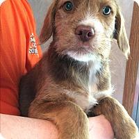 Adopt A Pet :: Maverick - SOUTHINGTON, CT