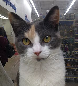 Domestic Shorthair Cat for adoption in Houston, Texas - Fancy
