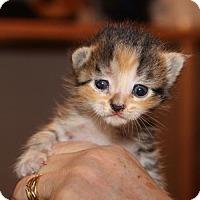 Adopt A Pet :: Belle - Helotes, TX