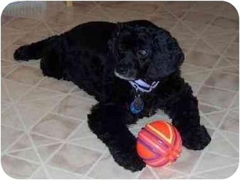 Cocker Spaniel Mix Dog for adoption in Wilmington, Massachusetts - Penny Lane
