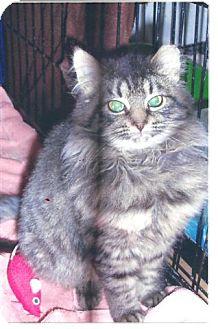 Domestic Longhair Kitten for adoption in Acme, Pennsylvania - Long Haired Kitten