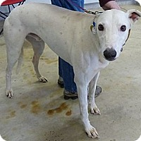 Adopt A Pet :: Squealer - Fremont, OH