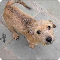 Adopt A Pet :: pumpkin - houston, TX